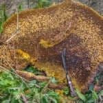 Мед диких пчел