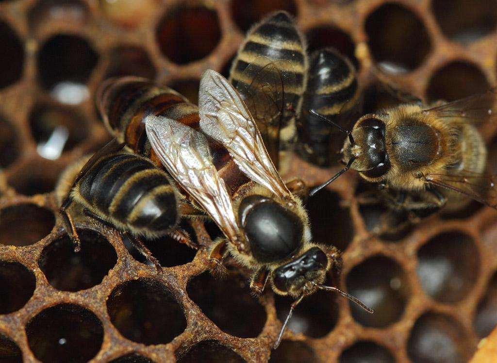 фото пчел и маток разных пород сли