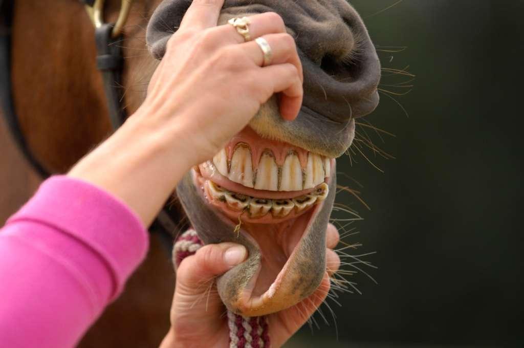 Лошадиные зубы