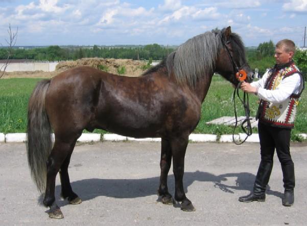 Гуцульская лошадь