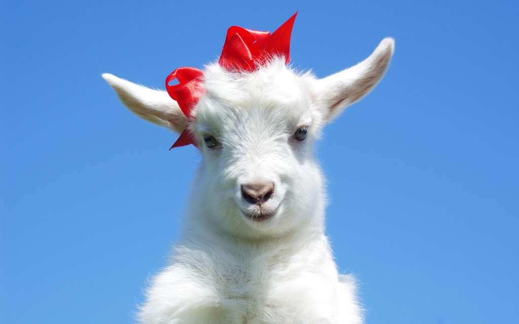 Красивая коза