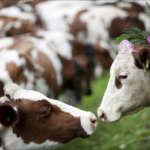 Две милые коровы