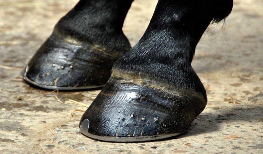 Передние копыта лошади