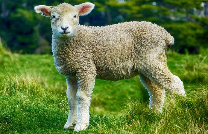 Как правильно разводить овец?