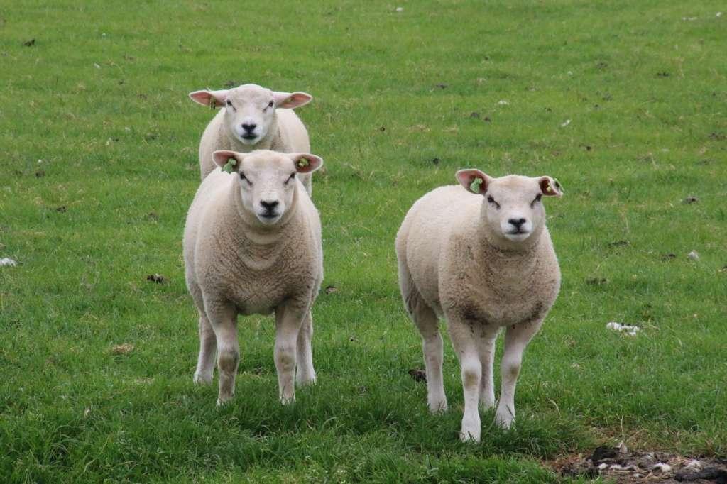 Овцы тексель