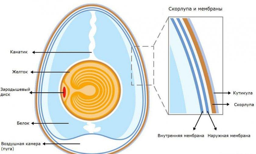 Строение куриного яйца