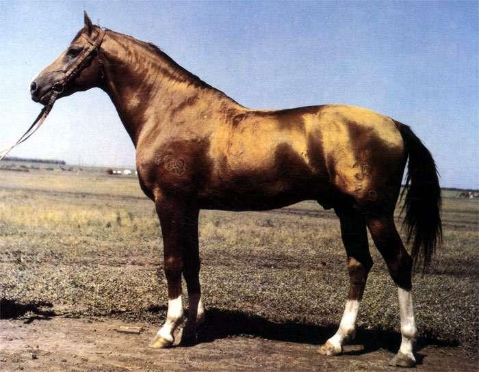 Карабаирская лошадь