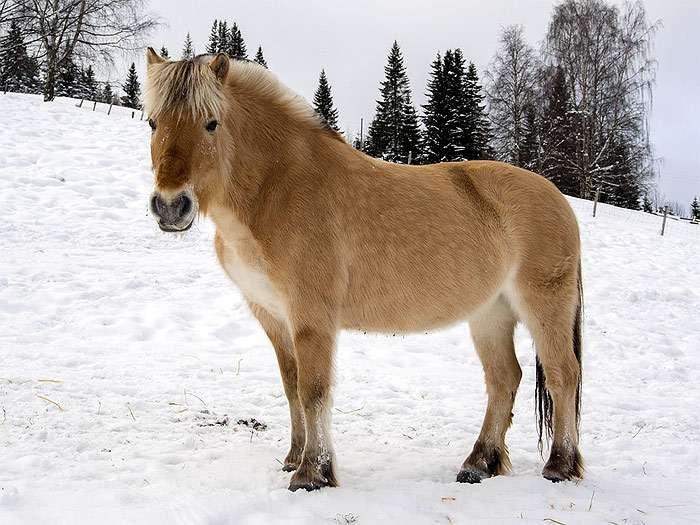 Фиордскаялошадь