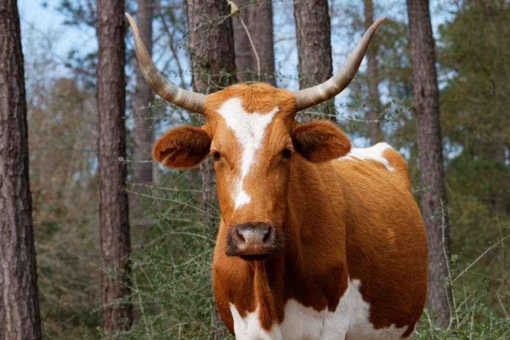 Корова с длинными рогами