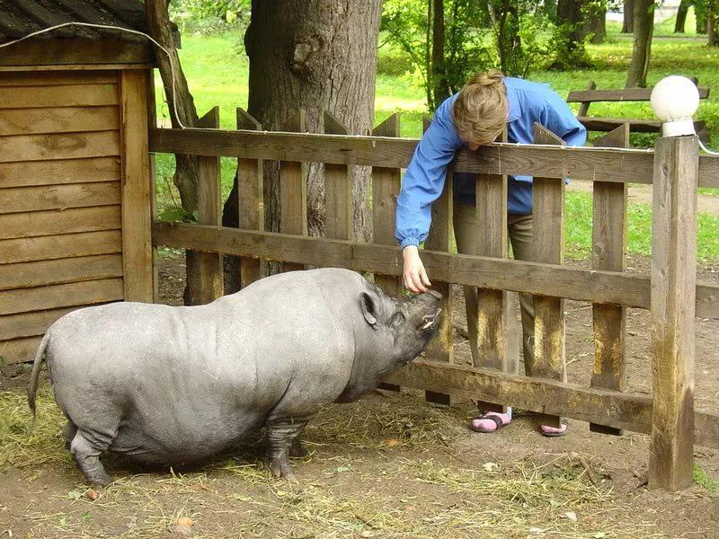 Свинья в зоопарке