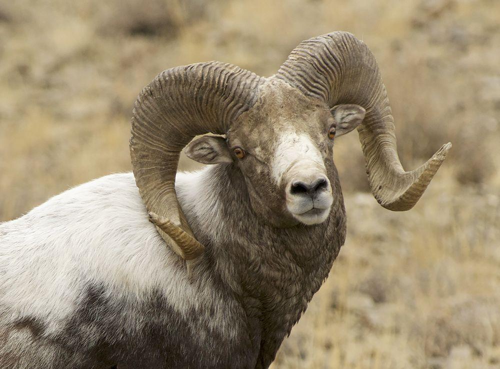 Алтайский горный баран