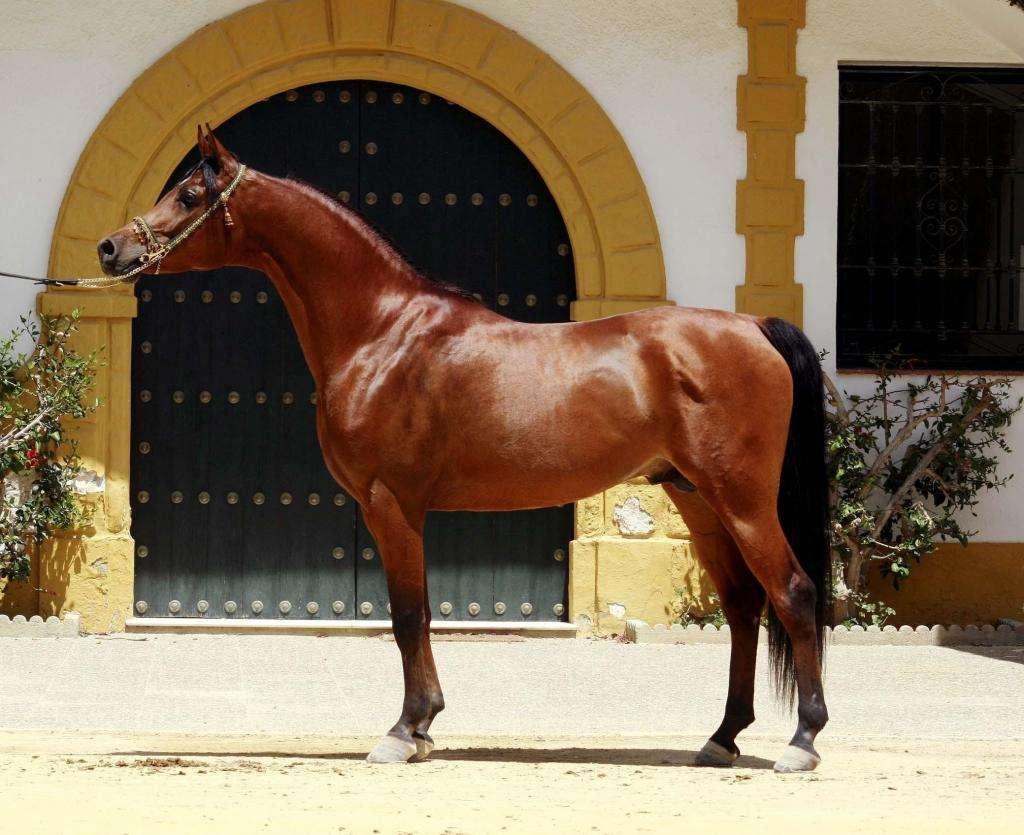 Восточный тип лошади