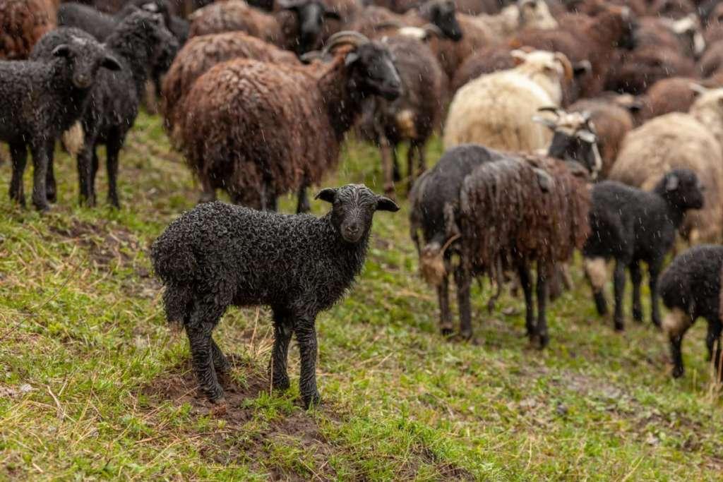 Черная овца