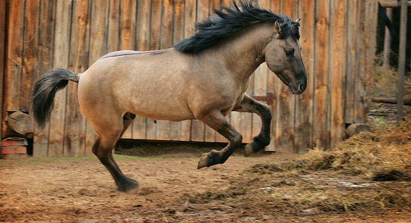 Башкирскаялошадь