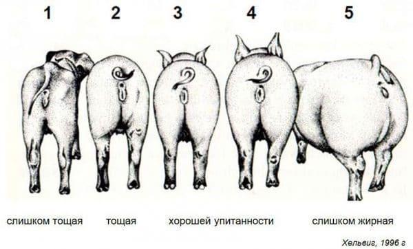 Упитанность свиней