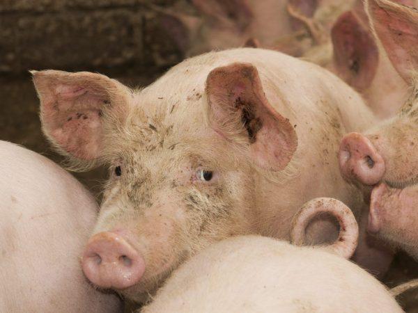 Заболевания свиней и поросят