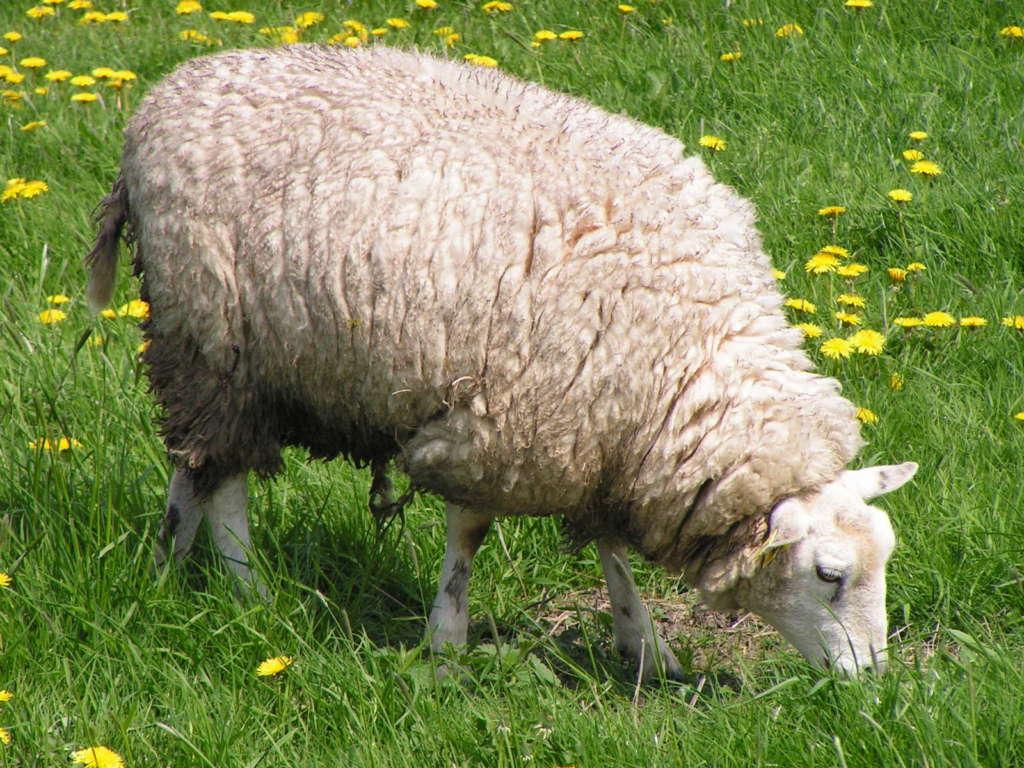Овцы породы Меринос