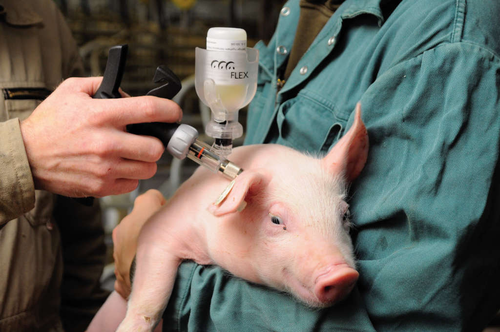 Прививка свинье