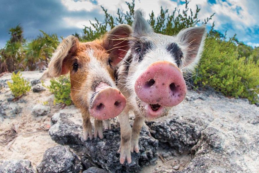 Продолжительность жизни свиней