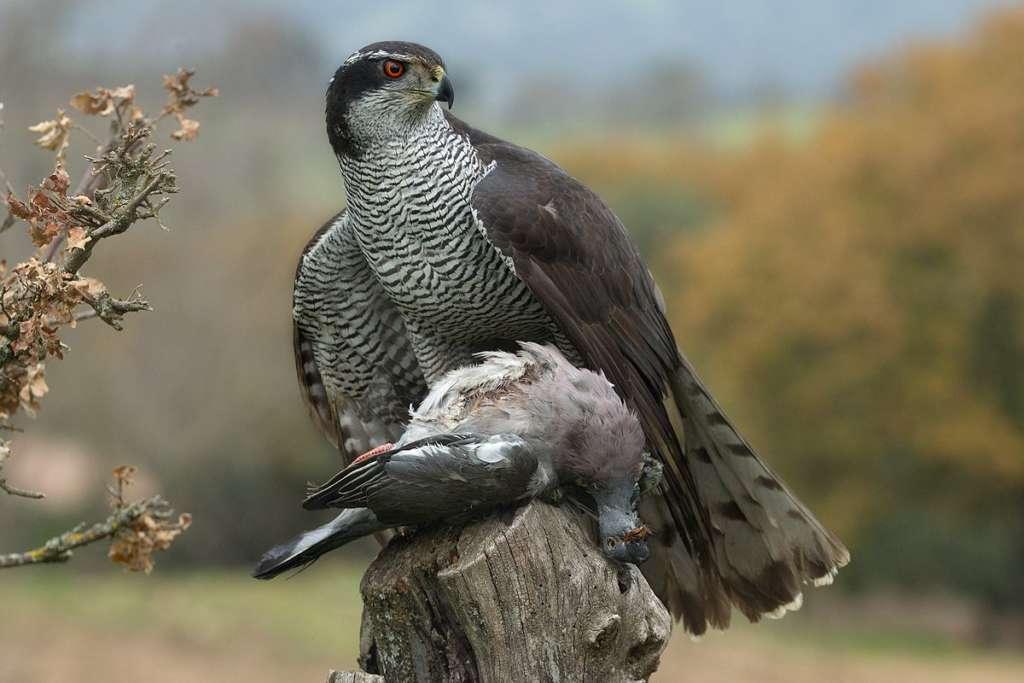 Орел поймал голубя