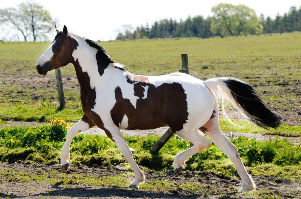 Пегой конь