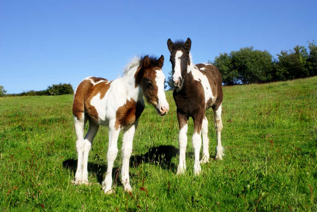 Жеребенки пегой лошади