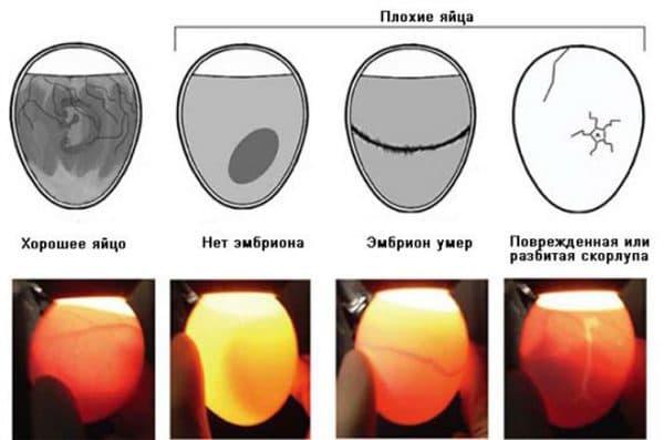 Как проводить инкубацию перепелиных яиц?