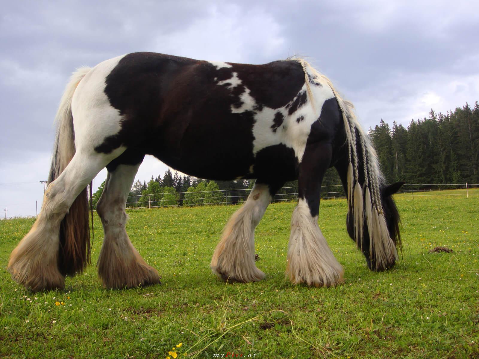 картинки с тяжеловозами лошадьми рассказала, что
