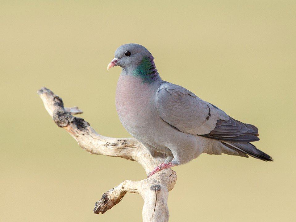 Голуби: описание, места обитания и размножение