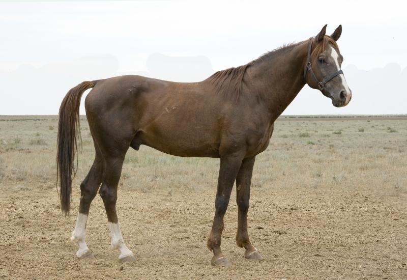 Калмыцкая лошадь