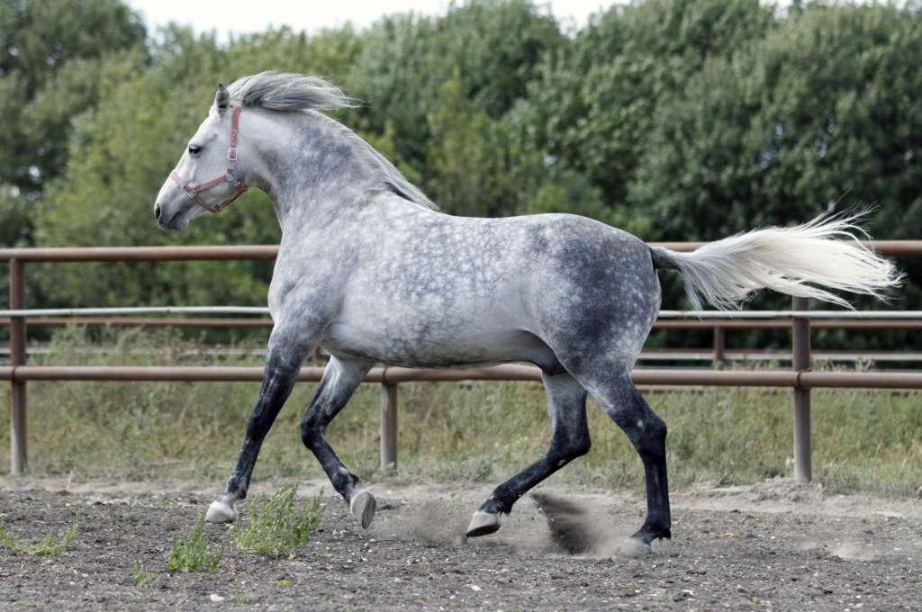 Орловский конь