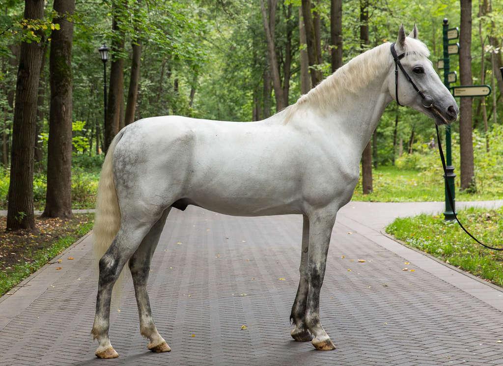 Конь Орловской породы