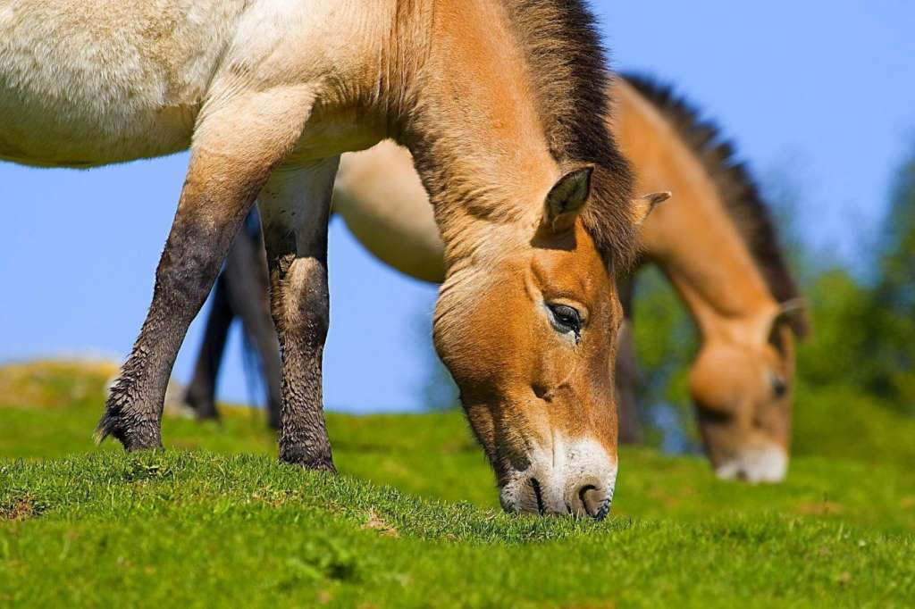 Кормление лошадей Пржевальского