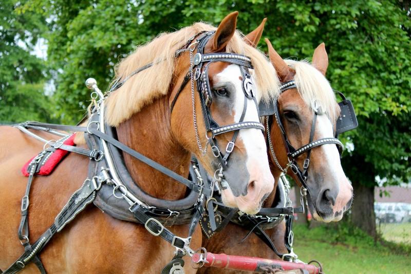 Парно запряженные лошади