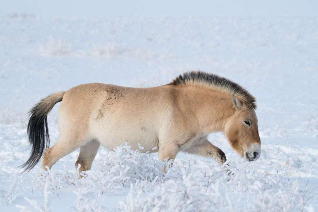 Лошадь Пржевальского на снегу