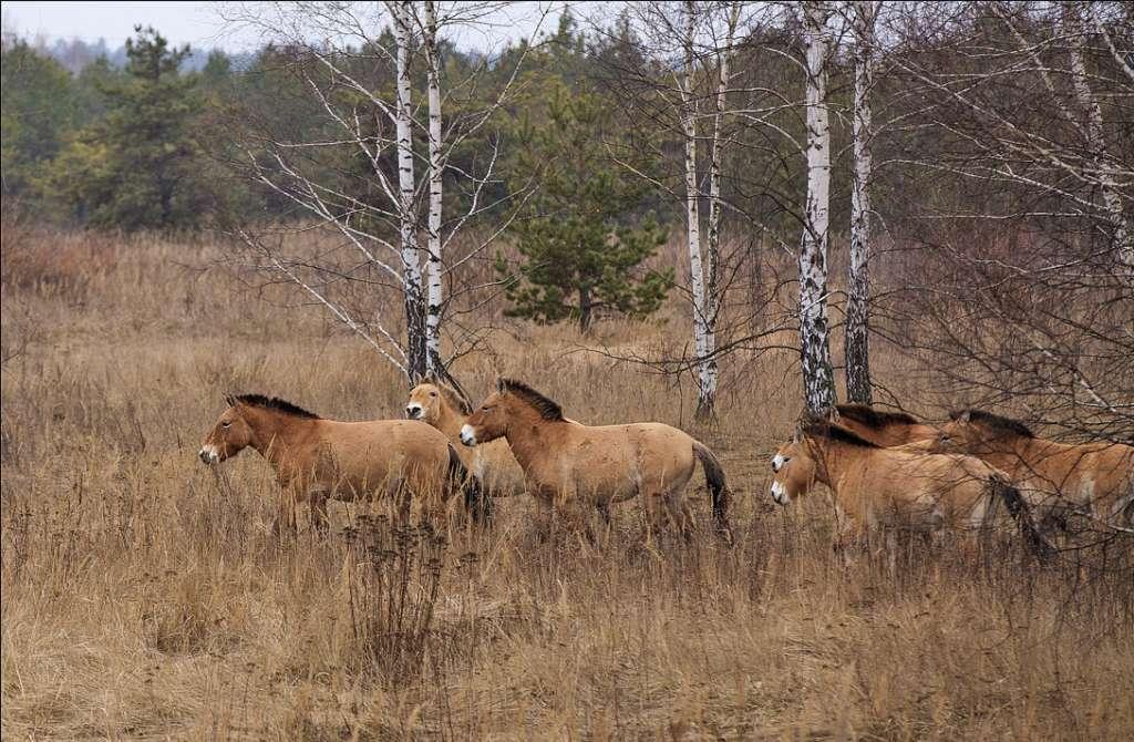 Лошадь породы Пржевальского