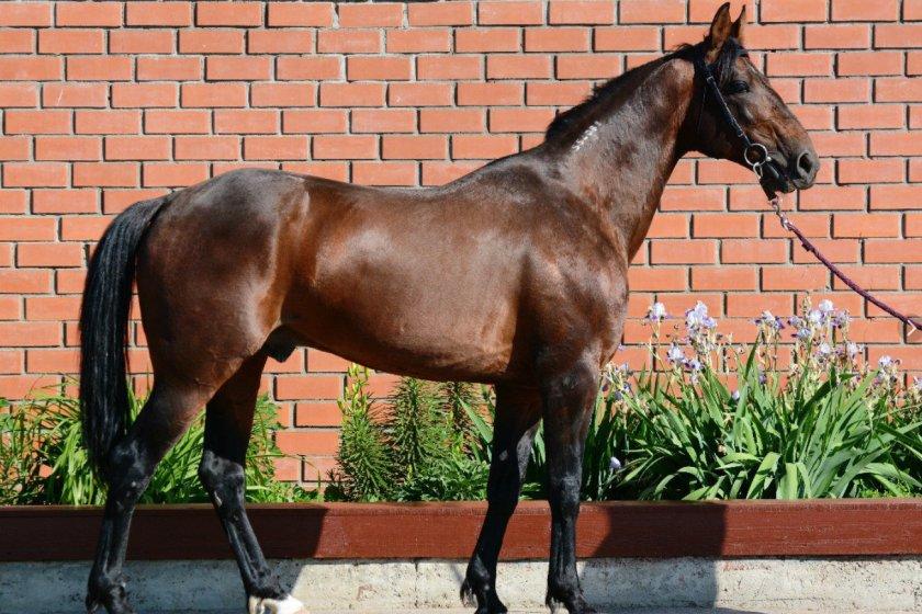 Лошади иноходцы: что это такое?