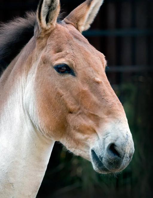 Морда лошади Пржевальского