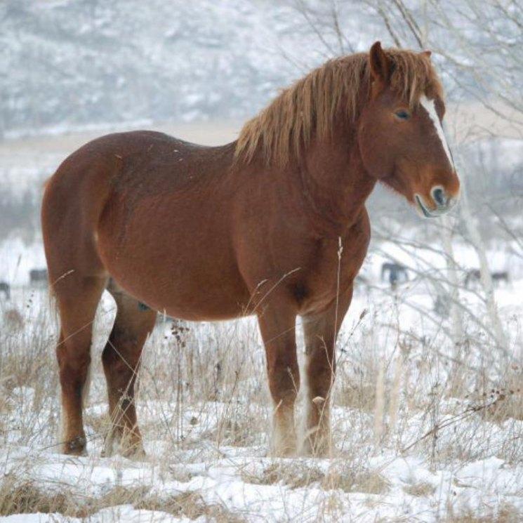 Новоалтайская лошадь