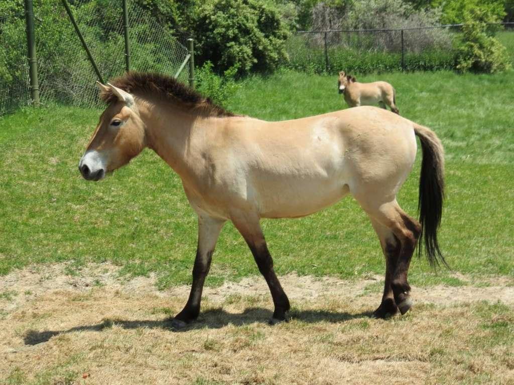 Лошадь и жеребец Пржевальского