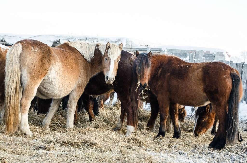 Приобская лошадь