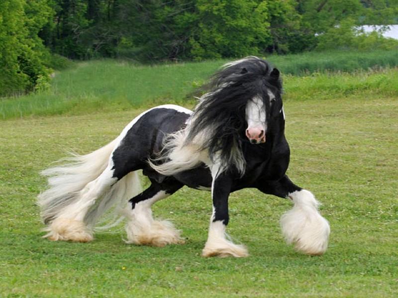 Лошадь породы Шайр