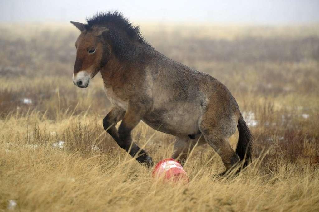 Конь Пржевальского