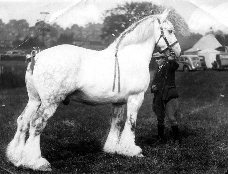 Самая большая порода лошади в мире
