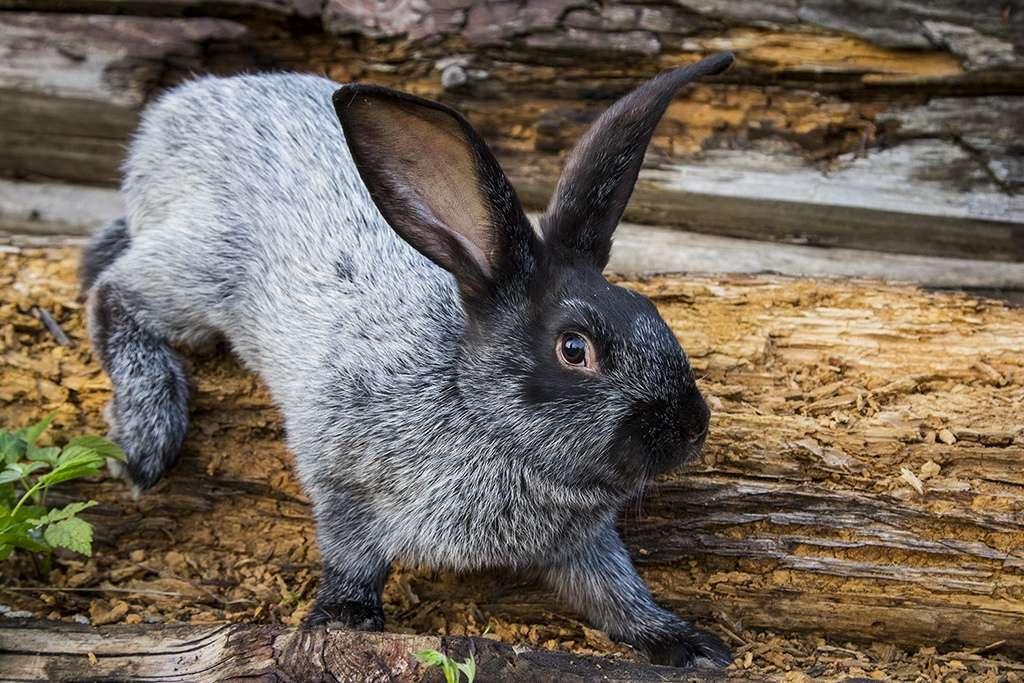 Порода кролика Полтавское серебро