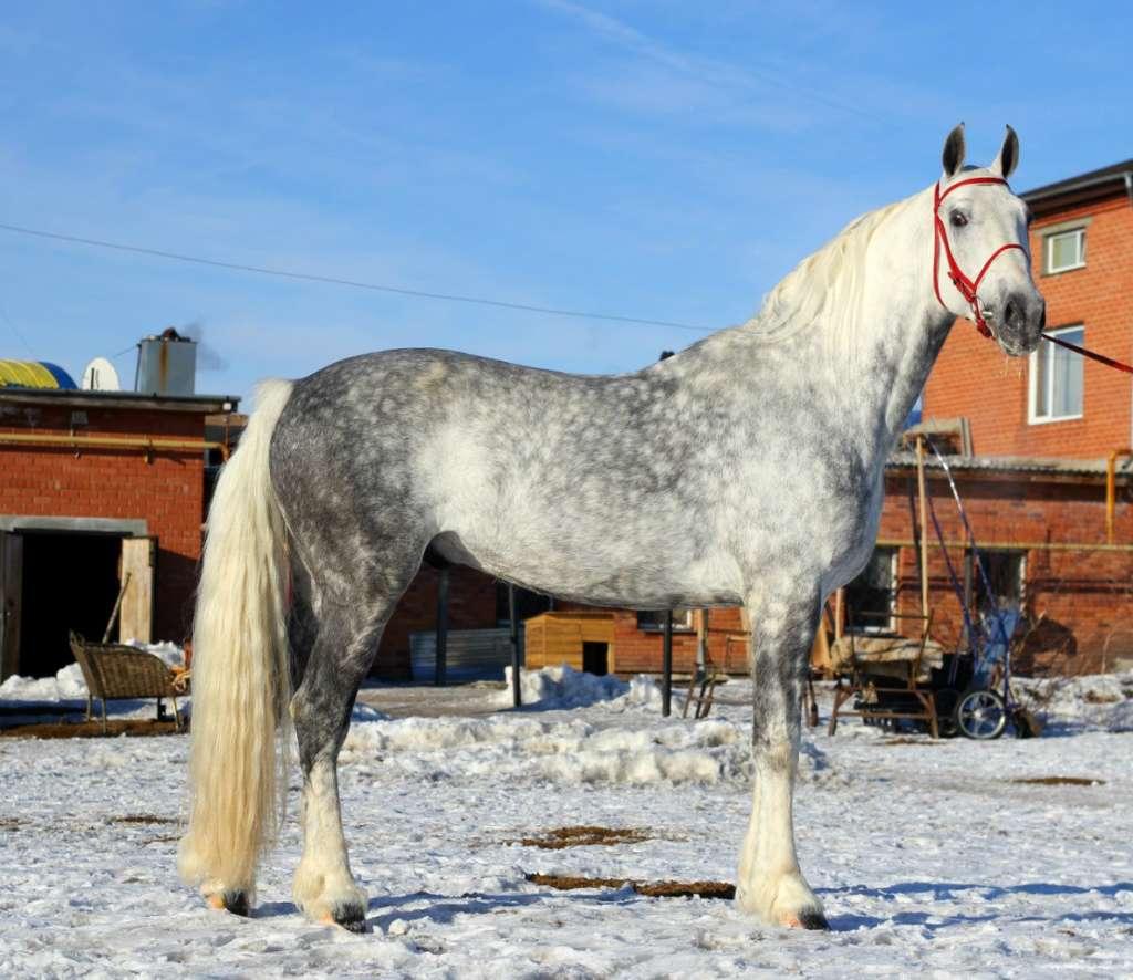 Лошадь породы Орловский рысак