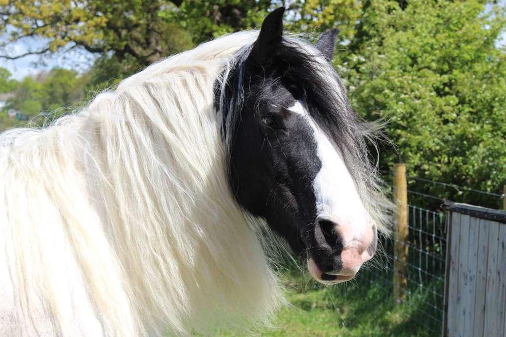 Морда лошади Шайр