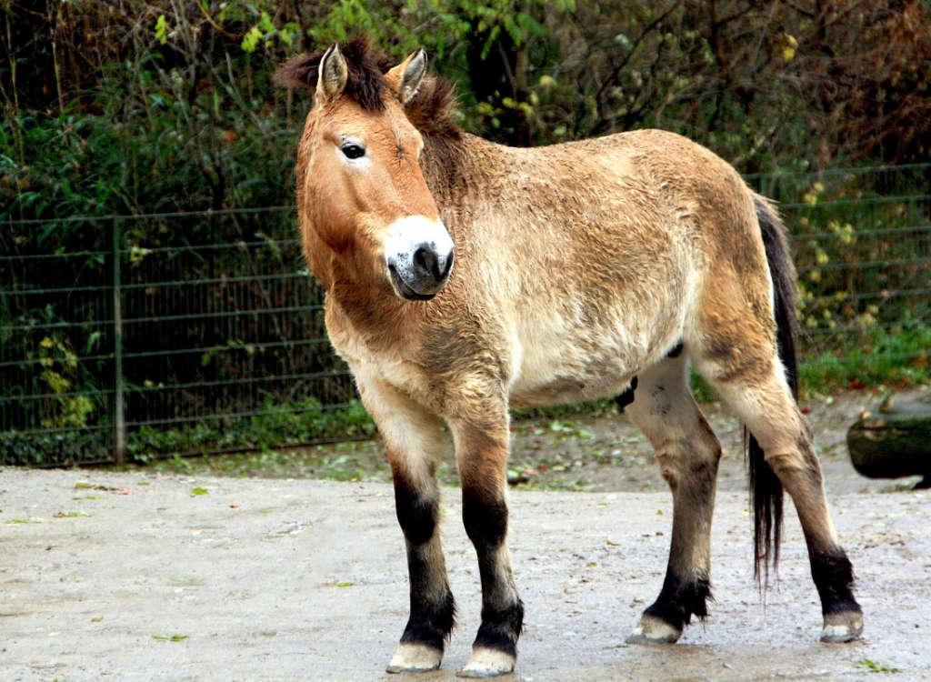 Порода лошади Пржевальского