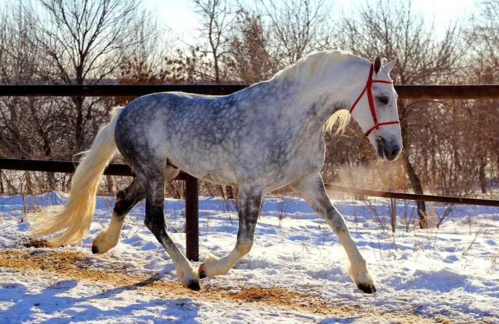 Порода лошади Орловский рысак