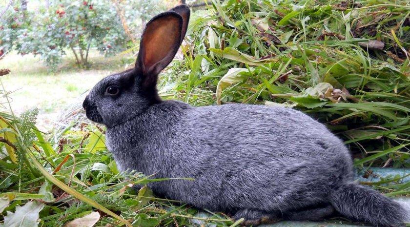 Кролик породы Полтавское серебро